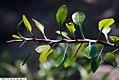 Fouquieria fasciculata 2zz.jpg
