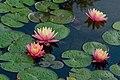 Four Pond Lilies PLT-FL-WL-10.jpg