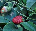 Fragaria moschata Hautbois Strawbery ხენდრო.JPG