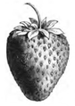 Fraise Louis Vilmorin - Vilmorin-Andrieux 1883.png