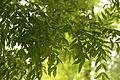 Fraxinus angustifolia ssp. oxycarpaIMG 3375.JPG