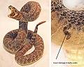 Freeze-dried rattlesnake.jpg