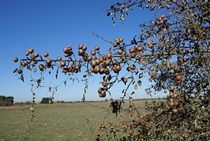 Pyrus bourgaeana - Fruiting branch of an isolated fruiting Iberian pear tree in SW Spain