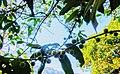 Frutos de Louro Apagão.jpg
