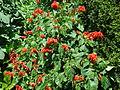 GBG red flower.JPG