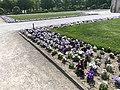 GER — BY — München — Hofgartenstraße 1 (Hofgarten · Beeteinfassung mit violett-lila-weissen Blumen) 2020.JPG