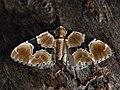 Gagitodes sagittata - Marsh carpet - Ларенция василистниковая (39141767180).jpg