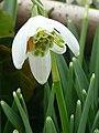 Galanthus nivalis f. pleniflorus 5 - geograph.org.uk - 1165848.jpg