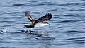 Galapagos Shearwater (Puffinus subalaris) (5783264933).jpg