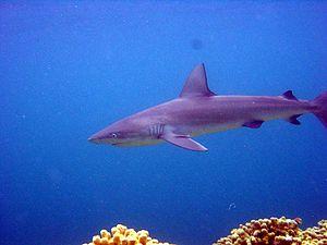 Requiem shark - Galapagos shark, Carcharhinus galapagensis