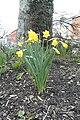 Galway Daffodils.jpg