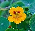 Garden nasturtium (Tropaeolum majus).jpg