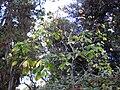 Gardenology.org-IMG 2569 ucla09.jpg