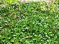 Gardenology.org-IMG 2829 rbgs11jan.jpg