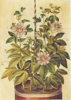Gc2 passiflora incarnata.jpg
