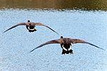 Geese - Lackford Lakes (30099052312).jpg