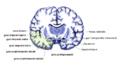 Gehirn Frontalschnitt hippocampus.png