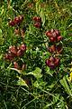 Gentiana pannonica PID1354-5.jpg