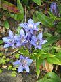 Gentiana septemfida - Flickr - peganum (1).jpg