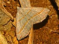Geometridae - Scotoperyx luridata (8303379688).jpg