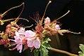 Geranium maculatum 10zz.jpg