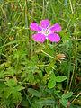 Geranium palustre plant.jpg