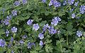 Geranium peloponnesiacum.jpg