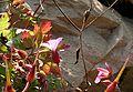 Geranium robertianum ENBLA03.jpeg