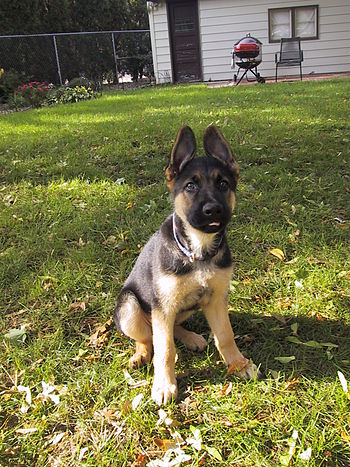 English: German Shepherd puppy sitting.