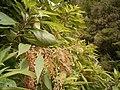 Gesnouinia arborea (Breña Alta) 03 ies.jpg