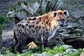 Gevlekte hyena (8374477614).jpg