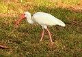 Gfp-white-ibis.jpg