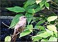 Giant Hummingbirds (7776372512).jpg