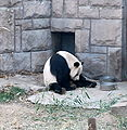 Giant Panda in Beijing Zoo.JPG