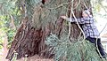Giant Sequoia that was planted in Portland, Oregon, less than a century ago.jpg