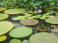 Giant lilly pads (14763103629).jpg