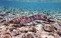 Gigantische Muräne (Muraena). Giant Moray. Гигантская мурена.DSCF3641WI.jpg