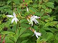 Gillenia trifoliata.jpg