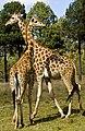 Giraffe at Dubbo Zoo-02& (4063481470).jpg