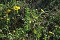 Glebionis segetum inflorescence (08).jpg