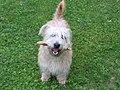 Glen of Imaal Terrier 0019.JPG