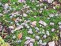 Globularia cordifolia.jpg