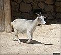 Goat-Jerusalem-Biblical-Zoo-IZE-096.jpg