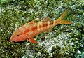 Goatfish - Poor Knights Islands.jpg
