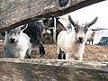Goats DSC02103.jpg