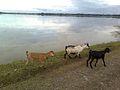 Goats of Assam.jpg