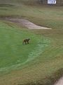 Gokarna Forest Resort golf course monkey.jpg