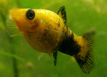 Female Gold Molly. Its a female fish as you ca...
