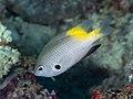 Goldback damsel (Pomacentrus nigromanus) (28822097127).jpg