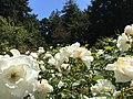 Golden Gate Park Rose Garden 12 2016-06-29.jpg